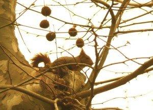 ecureuil aux aguets