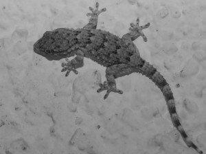 FAUNE La Tarente - reptile