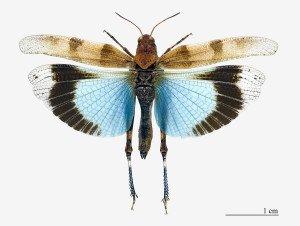 INSECTE Oedipoda_caerulescens