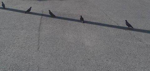 4.PIGEONS ALIGNES AU SOL